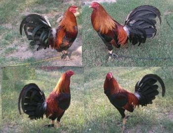 breeds of gamefowl