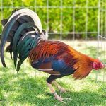 The Rooster Sweater Gamefowl, History, Characteristics, Breeders